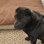 Luxury pet bedding at the Loews Vanderbilt in Nashville